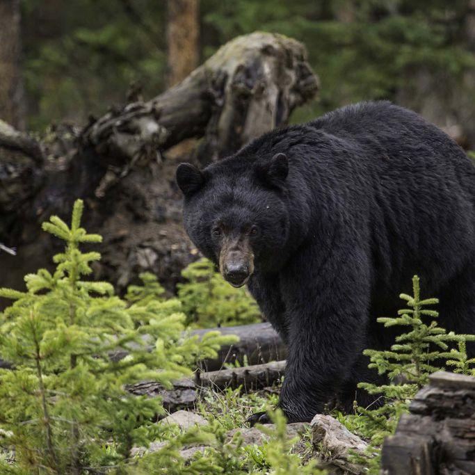 Black bear near the Northeast Entrance; Neal Herbert; May 2015; Catalog #20109d; Original #ndh-yell-6596